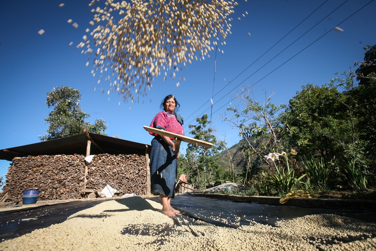Petrona Mendoza Calmo shovels parchment coffee on her drying patio. Petrona belongs to the CODECH coop. CODECH is a Fairtrade-certified coffee producer in Concepci Huista, Huehuetenango, Guatemala.
